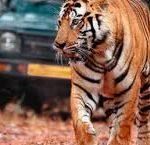 klassika-indii-i-tigry-8-nochey3